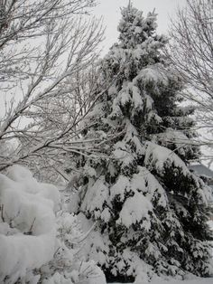 Blue Spruce dressed in snow. This is in our front yard.