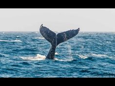 Humpback Whales Near Boat in Monterey Bay, Pacific Ocean