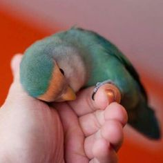 My lovebird misty blue sea 12 yrs passed away . Looks almost like this one ....