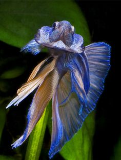 bettas | How To Breed Bettas / Siamese Fighting Fish | All Aquarium Info ...