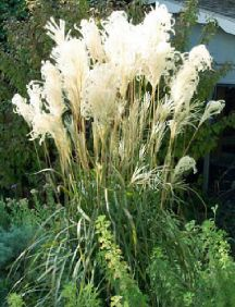 Slender, very upright blades on strong, vigorous clumps make Maiden Grass one of the very best landscaping grasses. It is also very decorative in the winter, the plumes being persistent and the plants fading to a soft tan. The plumes are good for dried bouquets.