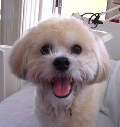 Koa is an 18 month old male Shitzu Maltese mix puppy who is super friendly and sweet.  He is 11-1/2 lbs and although his hair color is very light now,