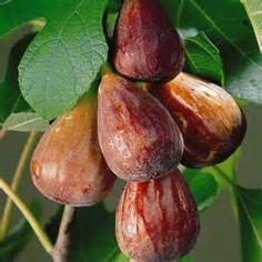 Hasil Cari Yahoo untuk red turkey figs tree
