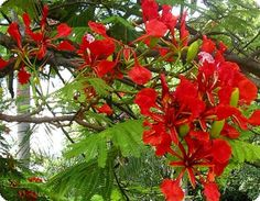 Florada do flamboyant vermelho - Pesquisa Google