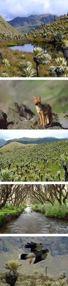 Frailejon eco-system of the northern Andes, Paramo del Angel Nature Reserve, Ecuador.  It became a National Ecological Conservation Reserve in 1986