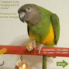 Senagal parrot on tabletop bird play stand eating a Lafeber's Nutriberry