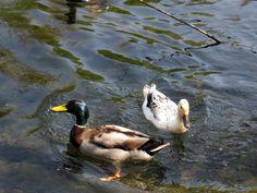 Silver Appleyard Miniature and Mallard Ducks - Google Search