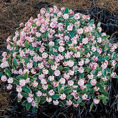 Variegated Daphne  best evergreen shrubs for shade - Google Search