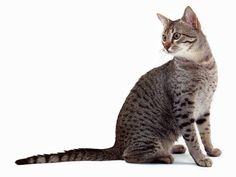"""Egyptian Mau - """"Extremely intelligent, fiercely loyal and moderately active breed. They love to hunt and will become competent hunters if left outdoors."""""""