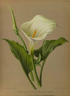 Haarlems Flora 1872 Calla Lily Canvas Art - Arentine H Arendsen x Calla Lillies, Calla Lily, Plant Illustration, Botanical Illustration, Collage Illustration, Botanical Drawings, Botanical Prints, Lilies Drawing, Drawing Flowers