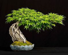 he word bonsai is most closely associated by most with the growing of miniature trees, and although this is somewhat accurate, there is a lot more to it than that. A bonsai is not a genetically overshadowed plant Bonsai Acer, Bonsai Plants, Bonsai Garden, Garden Trees, Juniper Bonsai, Succulents Garden, Air Plants, Cactus Plants, Bonsai Tree Types
