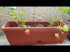 Growing Strawberries in Containers! Growing Strawberries In Containers, Growing Tomatoes In Containers, Growing Vegetables, Potted Strawberry Plants, Strawberry Planters, How To Grow Watermelon, Pruning Fruit Trees, Plants For Raised Beds, Small Flower Gardens