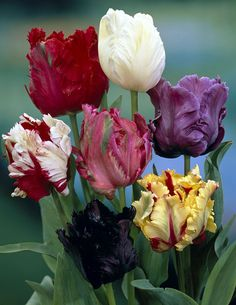 Parrot Tulips | Home Plants Grow your own Tools Outdoor living Wildlife Articles ...