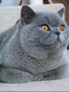 British blue cat accessories