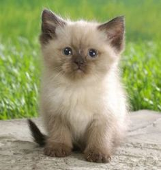 So why would customers choose kittens from us above other breeders? Effectively, to Truthfully know The solution to that, examine our other internet pages ...