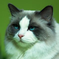 Ragdoll cat.  If I could have a cat...this would be it.