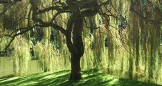 """Weeping willows... My childhood... vacationing in """"Los Quebrachos,"""" Sierras de Cordoba, with my family... I loved reading and resting under the weeping willows..."""