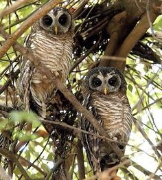 Pretty Birds, Beautiful Birds, Animals Beautiful, Beautiful Things, Animals And Pets, Cute Animals, Wood Owls, Owl Pictures, Owl House