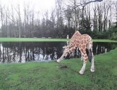 Giraf in Kröller Müller Giraffe, Animals, Felt Giraffe, Animales, Animaux, Giraffes, Animal, Animais