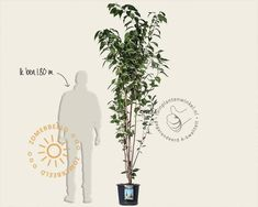 Prunus serrulata 'Amanogawa' | Sierkers | Vertrouwd online kopen!