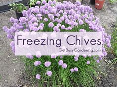 Freezing chives from your garden when they are in season is a great way to have garden fresh chives in your recipes all year round.