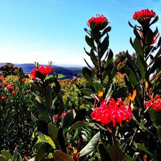 Growing and arranging beautiful Australian Native Flowers and all things Proteaceae. Australian Native Flowers, Australian Plants, Real Beauty, Tasmania, Wild Flowers, Nativity, Bloom, Amazing, Garden