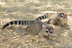 猫とチワワにアライグマ要素をまぜたようなカコミスルの赤ちゃんのうとうとコクリが悶えるほどにかわいい : カラパイア