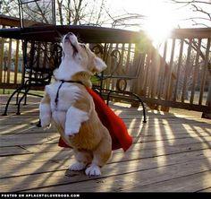 Funny Superhero Corgi photo - http://www.picturesofdogs.org/pin/744/