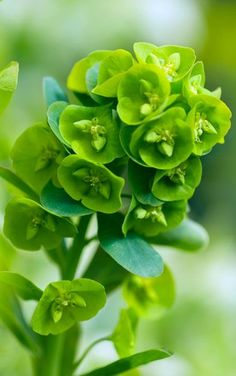 Euphorbia good for north-facing beds wood spurge Euphorbia amygdaloides var robbiae Delivery by Garden Shrubs, Shade Garden, Garden Plants, Woodland Plants, Woodland Garden, North Facing Garden, Dry Shade Plants, Green Flowers, Green Leaves