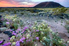 Amboy Crater in the Mojave Trails national monument is among the southern California landscapes where heavy rains have brought a once-in-a-decade covering of wild flowers
