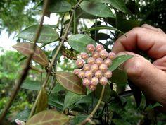 Hoya la !: Hoya cv rebecca