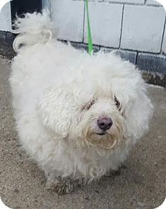 ★1/30/16 SL★Bronx, NY - Maltese/Poodle (Miniature) Mix. Meet Ziggy, a dog for adoption. My name is Ziggy. I am a Maltese/Poodle mix approximately 7 years old. I was recently surrendered to the shelter, along with my 3 brothers (Ringo, Ace, & Cody), after our mommy suddenly died. I am now looking for a furever home to start my life anew. http://www.adoptapet.com/pet/14739664-bronx-new-york-maltese-mix