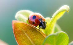 Ladybug HD Wallpaper