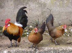 Norfolk Garden Chickens - Dutch Bantams