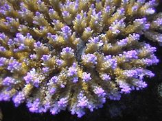 Purple tip acropora Saltwater Tank, Saltwater Aquarium, Coral Reef Aquarium, Coral Reefs, Acropora Coral, Sps Coral, Marine Fish Tanks, Photos Of Fish, Hard Coral