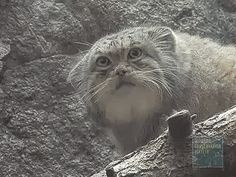 Pallas's cats, also known as manuls, are ridiculous creatures with amazing facial expressions. I love them so much. I don't care that I'm extremely late to the party.