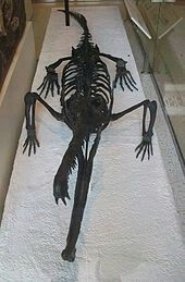 Skeleton of Rutiodon carolinensis viewed from the front