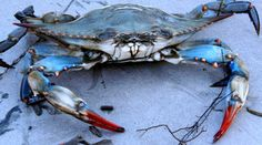 My friend's dad found this blue crab on the internet- chances are about 1 in 6. Not really impressive at all but everyone else was doing it.