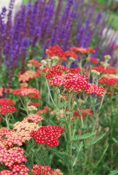Companions: Red Yarrow, Achillia spp and purple salvia  (photoJocelyn H. Chilvers)