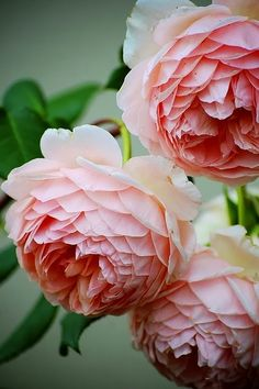 William Morris' David Austin Old English Rose. English roses are a group of roses introduced in 1969 by the English rose hybridizer David Austin. They have the full flower form and fragrance of old roses but bloom repeatedly and come in more colors.
