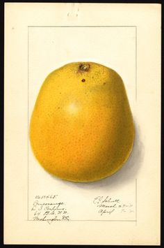 Artist:     Schutt, Ellen Isham, 1873-1955  Scientific name:     Citrus  Common name:     citrus fruits  Geographic origin:     Washington, D.C., United States  Physical description:     1 art original : col. ; 17 x 25 cm.  Specimen:     50465  Year:     1911  Notes on original:     Pomerange citrus hybrid  Date created:     1911-04-07
