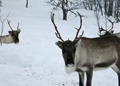 Up Close Reindeer Experience in Finland
