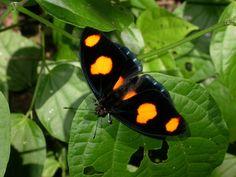 borboleta laranja - Pesquisa Google