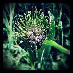 Allium schuberti