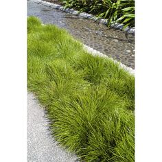 Plant-paintbox Range 140mm Lomandra Little Con I/N 3802066 | Bunnings Warehouse