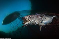 This image of a desperate tuna caught in a fishing net was captured by photographer Pasqua...