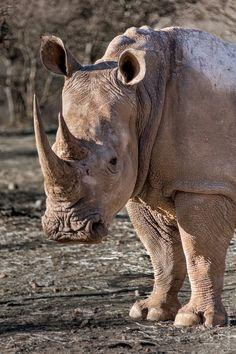 Rhinoceros in Namibia
