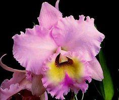 O Equador é o país onde se encontra o maior número de espécies de orquídeas,  3.549, seguido pela Colômbia, com 2.723, a Nova Guiné com 2.717 e o Brasil com 2.590. Mas, Bornéu, Sumatra, Madagascar, Venezuela e Costa Rica também possuem um número enorme de espécies.