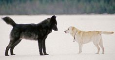 He watches helplessly as wolf nears his dog – then the unthinkable happens