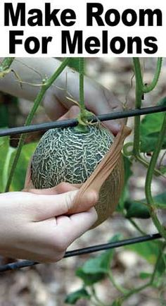 Growing melons- tips & tricks. Use pantyhose to support the melon. Place hose over small melon and tie to trellis. Fruit Garden, Edible Garden, Herb Garden, Lawn And Garden, Garden Plants, Big Garden, Family Garden, Garden Living, Tropical Garden